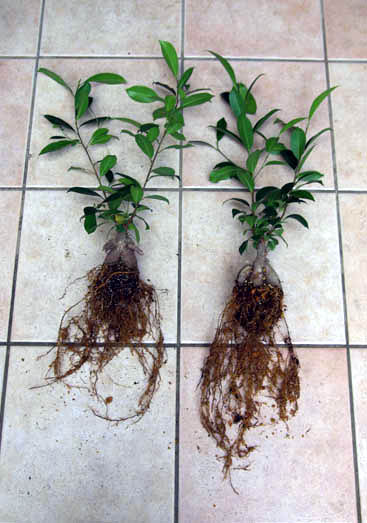 根の比較sカラー補正