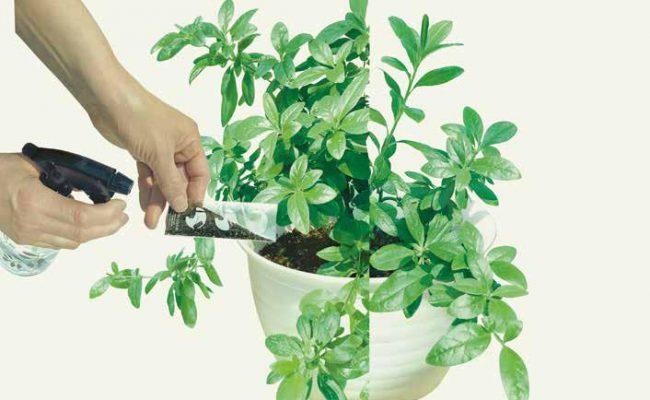 鉢植えのツチトコ